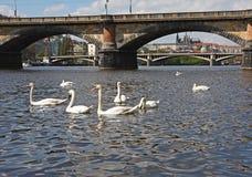 Cisnes brancas Fotografia de Stock Royalty Free