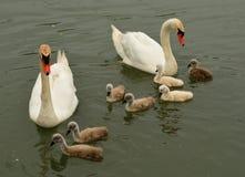 Cisnes brancas foto de stock royalty free
