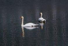 Cisnes brancas Foto de Stock