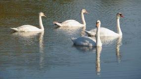 Cisnes brancas Imagens de Stock