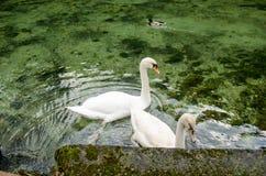 Cisnes brancas Imagem de Stock