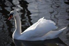 Cisnes brancas bonitas e graciosas, o pássaro o mais bonito na terra Nadam no frio do rio do inverno sob o sol Fotos de Stock Royalty Free