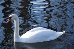 Cisnes brancas bonitas e graciosas, o pássaro o mais bonito na terra Nadam no frio do rio do inverno sob o sol Fotografia de Stock