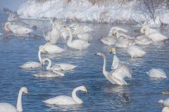 Cisnes brancas bonitas gritar Imagens de Stock