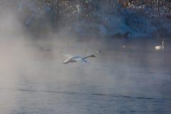 Cisnes brancas bonitas gritar Foto de Stock