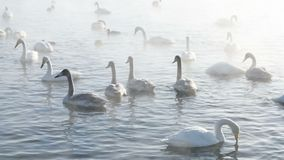 Cisnes brancas bonitas gritar vídeos de arquivo
