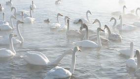 Cisnes brancas bonitas gritar video estoque