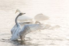 Cisnes brancas bonitas gritar fotos de stock