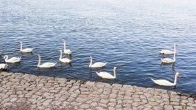 Cisnes brancas bonitas no Danube River foto de stock