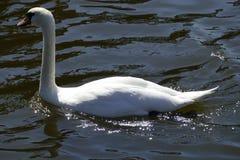 Cisnes brancas em um rio Imagem de Stock Royalty Free