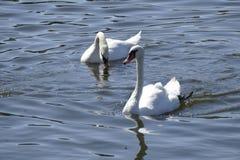 Cisnes brancas em um rio Foto de Stock