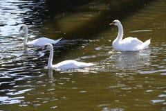Cisnes brancas em um rio Imagem de Stock