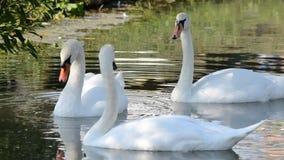 Cisnes brancas na água video estoque
