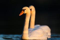 Cisnes brancas na luz da noite Imagem de Stock Royalty Free