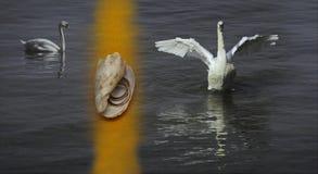 Cisnes brancas no lago e no shell com anéis Fotografia de Stock
