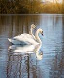 Cisnes brancas no rio Fotografia de Stock Royalty Free