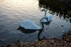 Cisnes brancas que nadam em uma lagoa imagem de stock royalty free