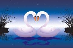 Cisnes cariñosos Imágenes de archivo libres de regalías