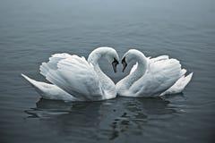 Cisnes cariñosos Imagen de archivo libre de regalías