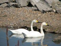 Cisnes - centro de los humedales Fotografía de archivo libre de regalías