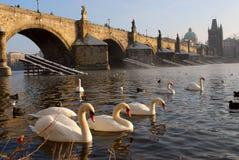 Cisnes cerca al puente de Charles Foto de archivo