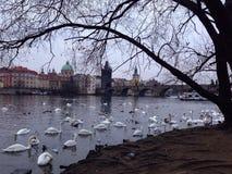 Cisnes cerca de Charles Bridge en Praga Imagen de archivo libre de regalías