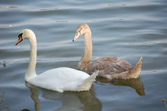 Cisnes cinzentas e brancas Fotografia de Stock