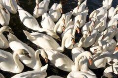 Cisnes, cisnes, cisnes Fotografía de archivo libre de regalías