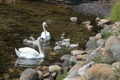 Cisnes com cisnes novos fotografia de stock