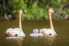 Cisnes com seus cisnes novos imagens de stock