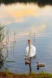 Cisnes con los polluelos en la puesta del sol fotos de archivo libres de regalías