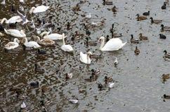 Cisnes con los polluelos, las gaviotas y los colimbos de los patos salvajes Fotografía de archivo libre de regalías
