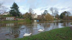 2 cisnes con sus cabezas debajo del agua Imagen de archivo libre de regalías