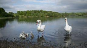 Cisnes con sus pollos del cisne del bebé Foto de archivo libre de regalías