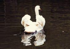 Cisnes - Cygnus na água, filtro da beleza fotos de stock