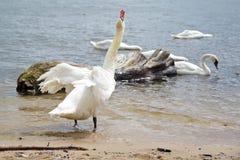 Cisnes da dança fotos de stock royalty free