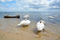 Cisnes da dança imagem de stock royalty free