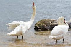 Cisnes da dança fotografia de stock
