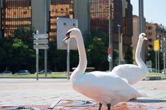 Cisnes da empresa Imagem de Stock Royalty Free