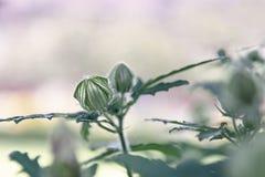 Cisnes da flor em botão verdes em um fundo obscuro do rosa da ameixa fotos de stock