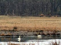 Cisnes da neve Imagens de Stock Royalty Free