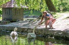 Cisnes de alimentación de la mamá y de la hija en el lago en el parque Imagen de archivo