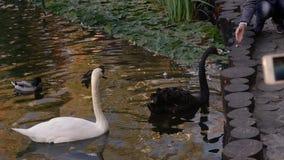 Cisnes de alimentación de la mujer en un parque de la ciudad en un lago almacen de metraje de vídeo
