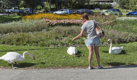 Cisnes de alimentación de la mujer en sangrado, Eslovenia Imagen de archivo