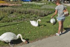 Cisnes de alimentação da mulher no sangrado, Eslovênia Imagens de Stock