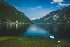 Cisnes de Hallstatt del lago Fotografía de archivo