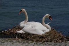 Cisnes de la cría Imagen de archivo libre de regalías