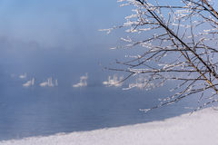 Cisnes de la escarcha de las ramitas de la niebla del lago Imagen de archivo libre de regalías