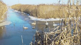 Cisnes de la invernada en la charca metrajes
