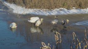 Cisnes de la invernada en la charca almacen de metraje de vídeo